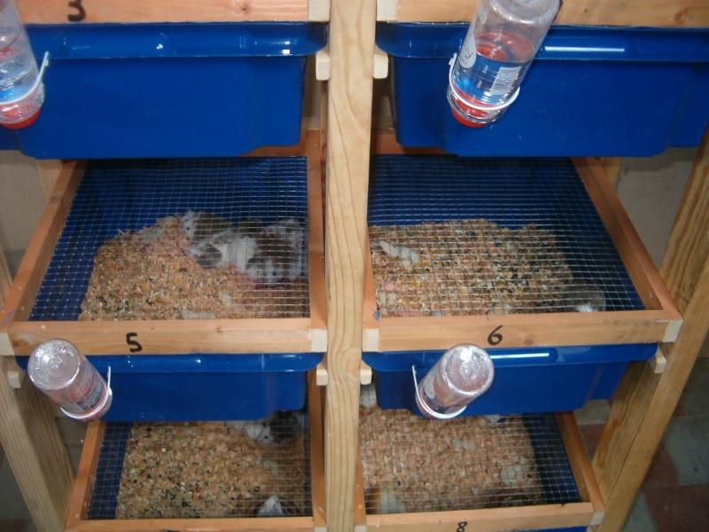 Racks élevage Mastomys Hpim8114