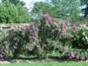 Taille rosiers grimpants Imgp3012