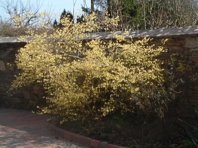 Corylopsis pauciflora Dscf8210