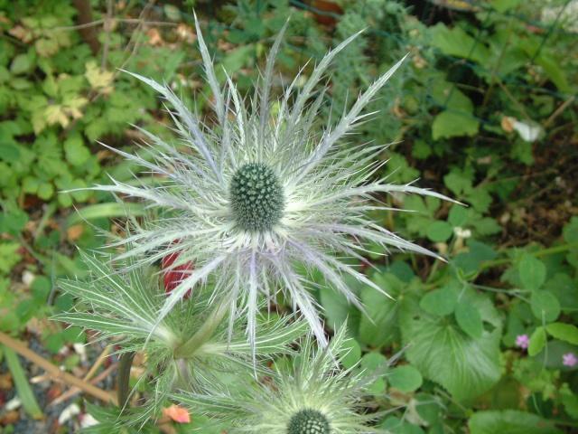 Eryngium alpinum Dscf8713