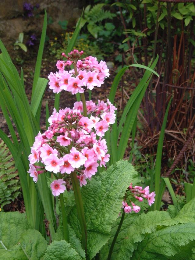 Primula japonica P_japo10