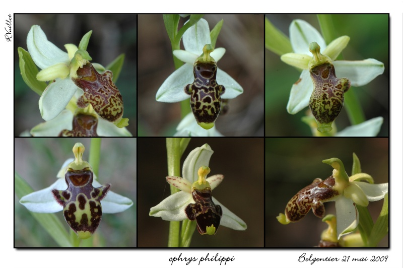 Ophrys philippi ( Ophrys de Philippe ) 02_opp10