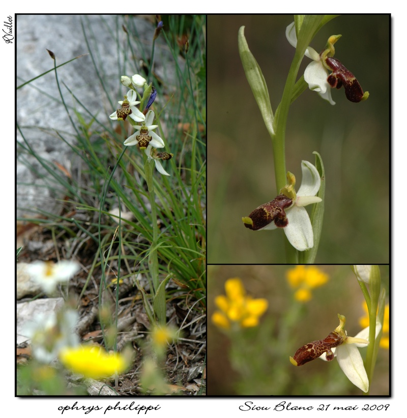 Ophrys philippi ( Ophrys de Philippe ) 03_opp10
