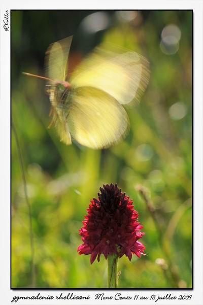 Gymnadenia ( Nigritella ) rhellicani ( N. de Rellikon ) 09-07-40