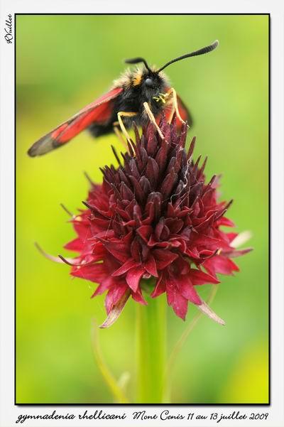 Gymnadenia ( Nigritella ) rhellicani ( N. de Rellikon ) 09-07-41