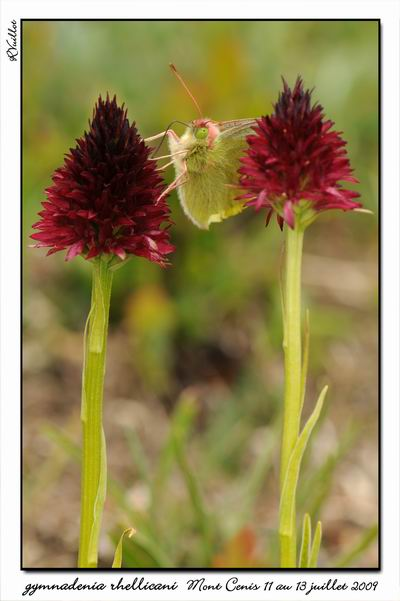 Gymnadenia ( Nigritella ) rhellicani ( N. de Rellikon ) 09-07-42