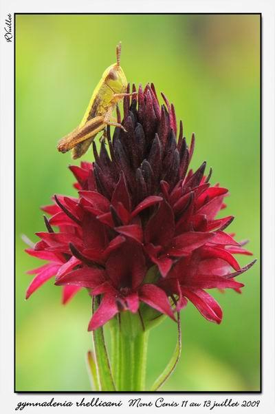 Gymnadenia ( Nigritella ) rhellicani ( N. de Rellikon ) 09-07-43