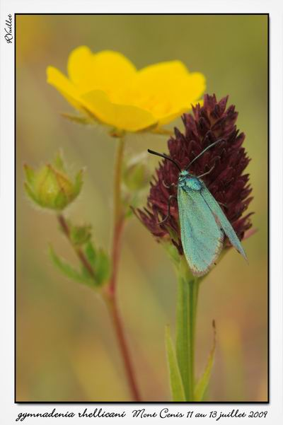 Gymnadenia ( Nigritella ) rhellicani ( N. de Rellikon ) 09-07-44