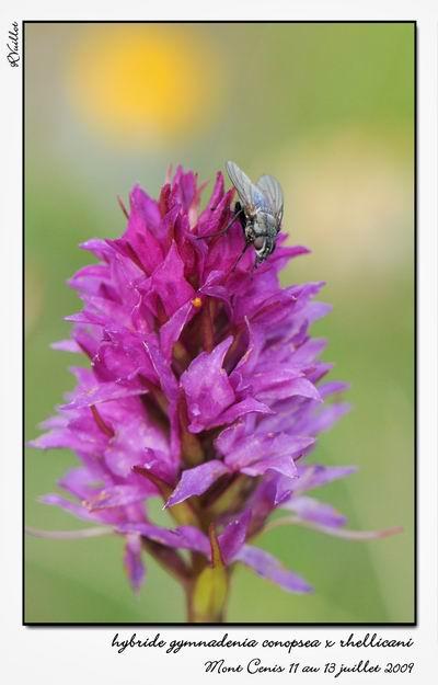 Gymnadenia ( Nigritella ) rhellicani ( N. de Rellikon ) 09-07-45