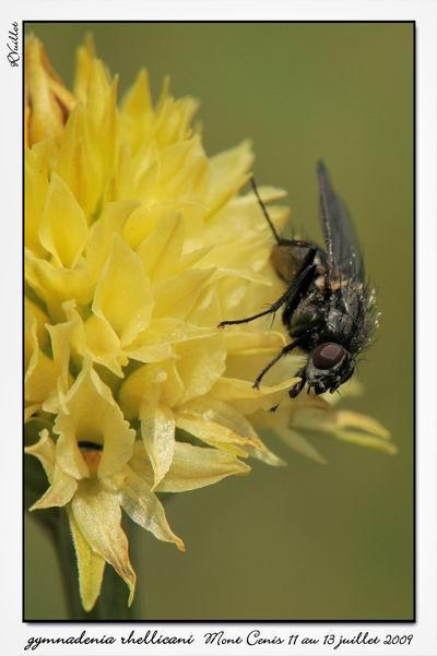 Gymnadenia ( Nigritella ) rhellicani ( N. de Rellikon ) 09-07-46