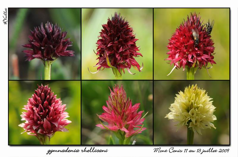 Gymnadenia ( Nigritella ) rhellicani ( N. de Rellikon ) 09-07-47