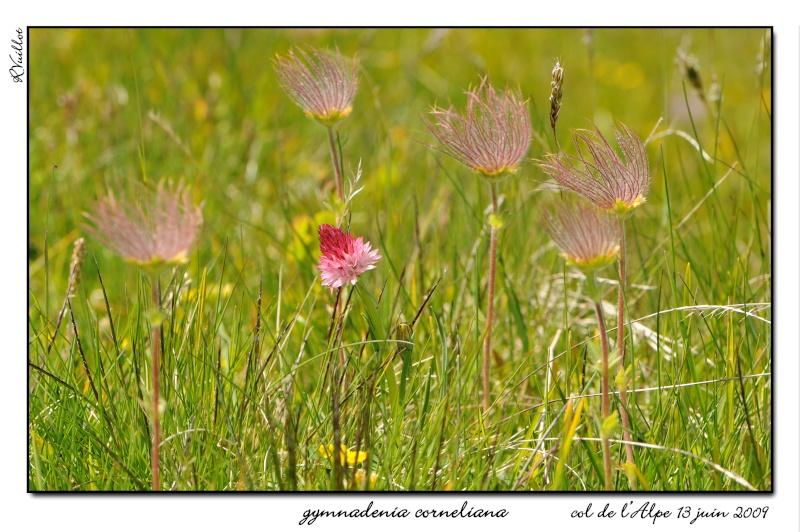 Gymnadenia ( Nigritella ) corneliana ( N.de Cornelia ) 09061316