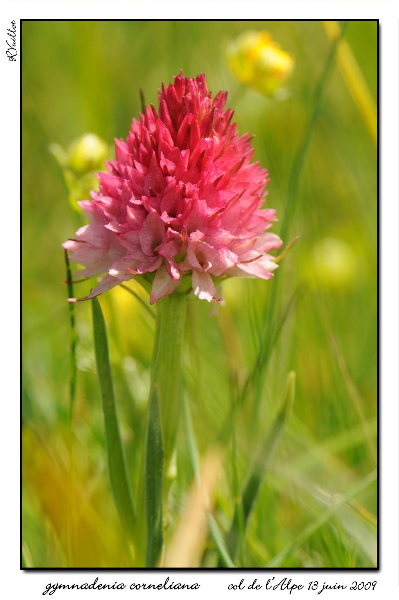 Gymnadenia ( Nigritella ) corneliana ( N.de Cornelia ) 09061317