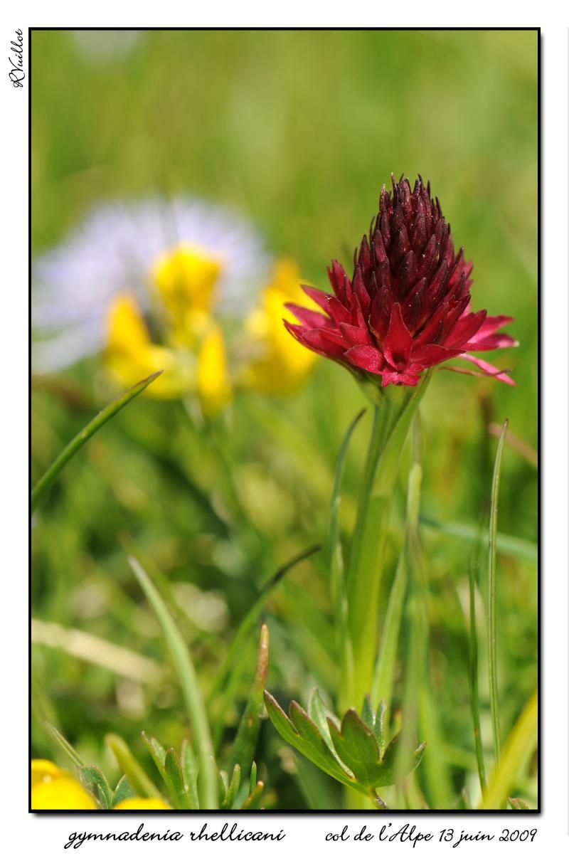 Gymnadenia ( Nigritella ) rhellicani ( N. de Rellikon ) 09061322