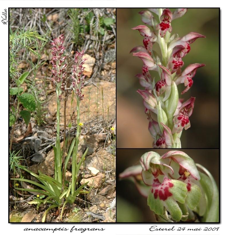 Anacamptis coriophora subsp. fragrans ( Orchis parfumée ) 10_ana10