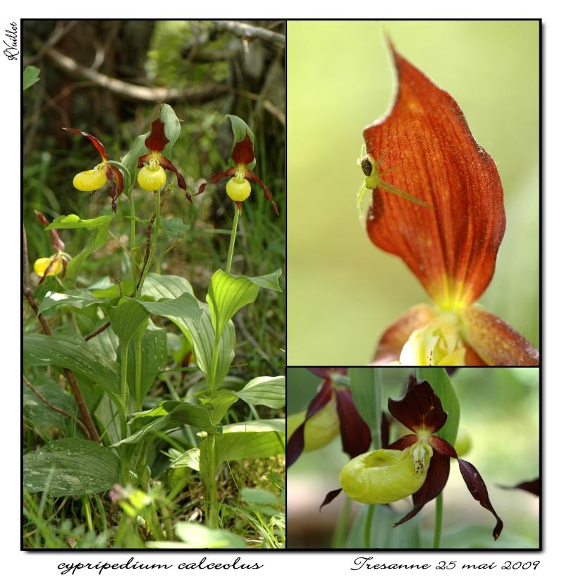 Cypripedium calceolus  ( Sabot de Vénus ) 11_cyp10