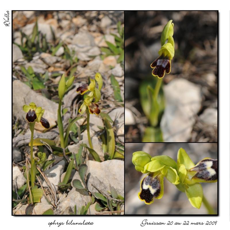 Ophrys marmorata / bilunulata / subfusca Gruiss16