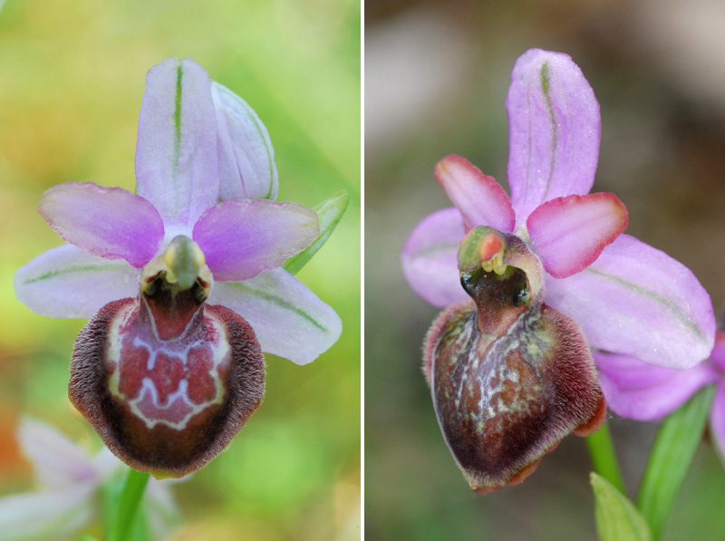 Ophrys aveyronensis ( Ophrys de l'Aveyron ) Staff110