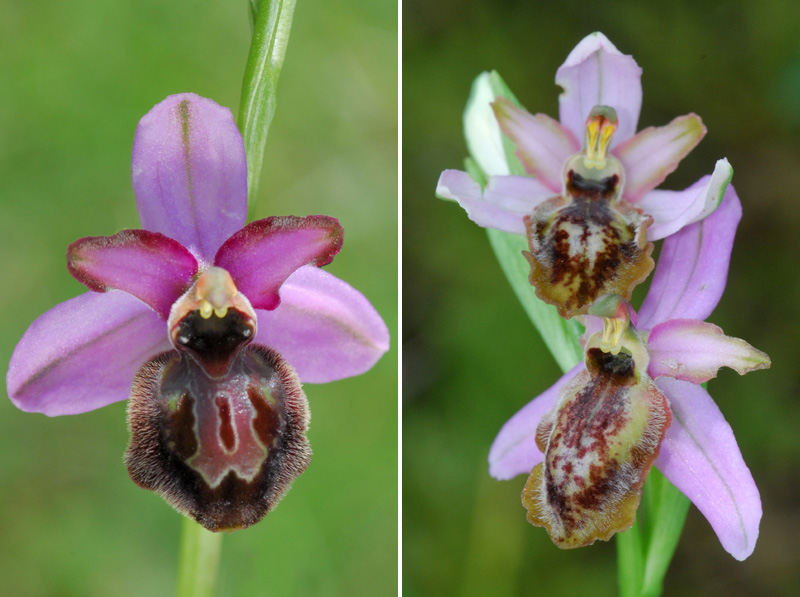 Ophrys aveyronensis ( Ophrys de l'Aveyron ) Staff111