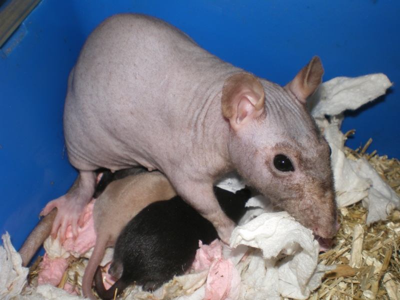 Les 3 bébés de ma ratte nue Imgp1713