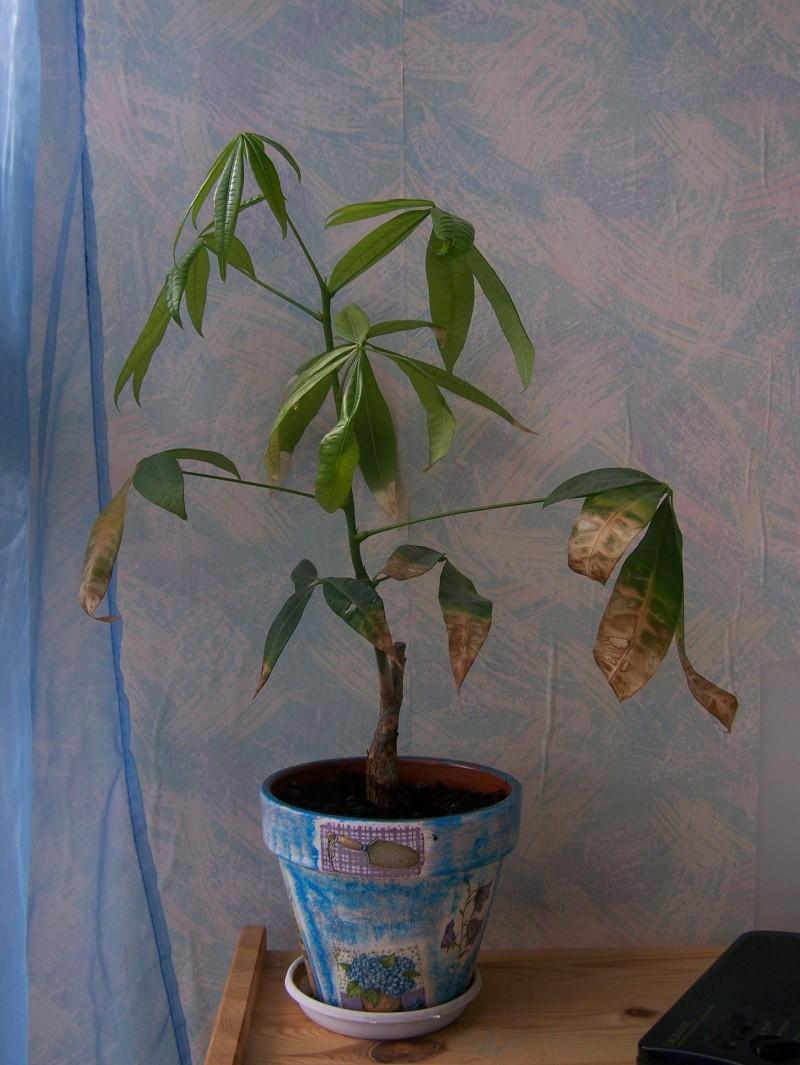Plantes qui perds ses feuilles 100_1712