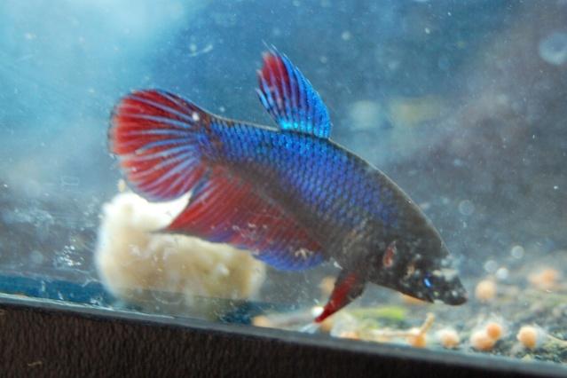 Une femelle betta Bleu et rouge Dsc_0376