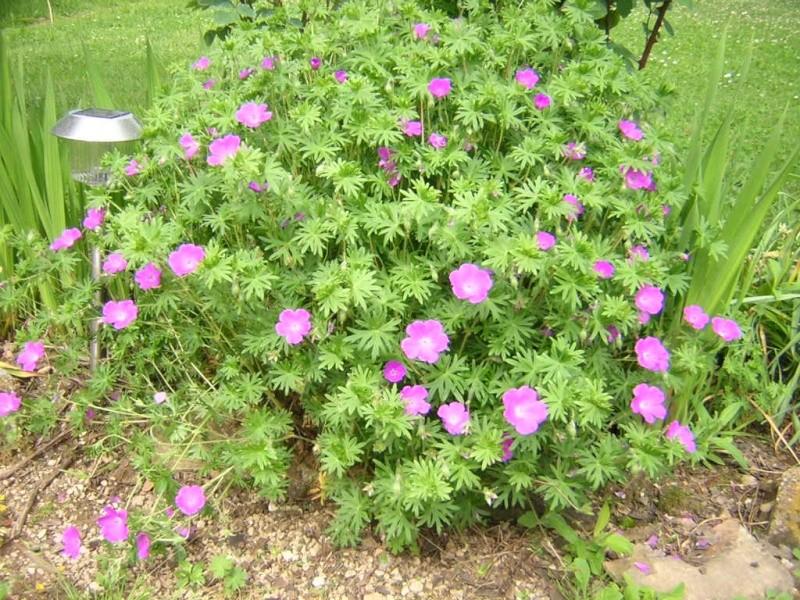 geranium Dscn0512