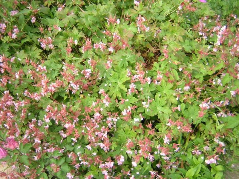 geranium Dscn0513