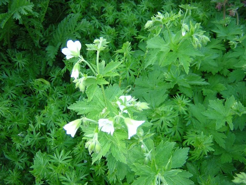 geranium Dscn0626