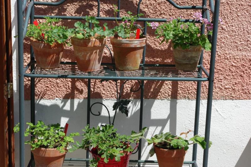 mes pelargoniums odorants Imgp0745