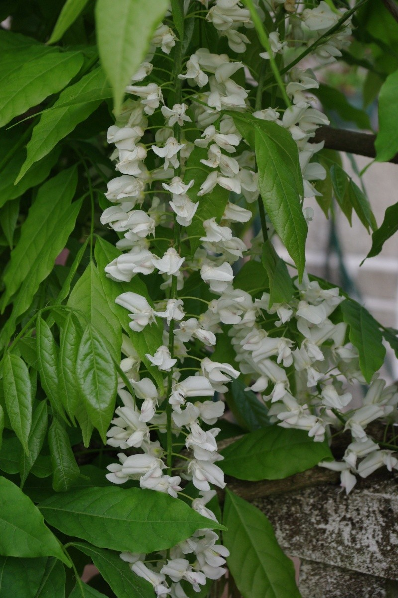 floraison printaniere Imgp0822