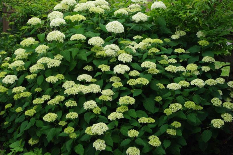 les vivaces floraison été Imgp1149