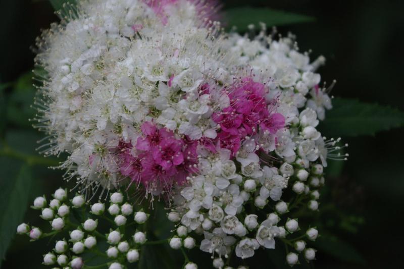 floraison printaniere Imgp1231