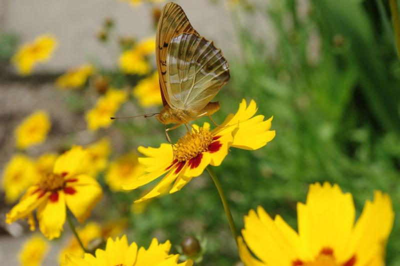 papillon Imgp1245