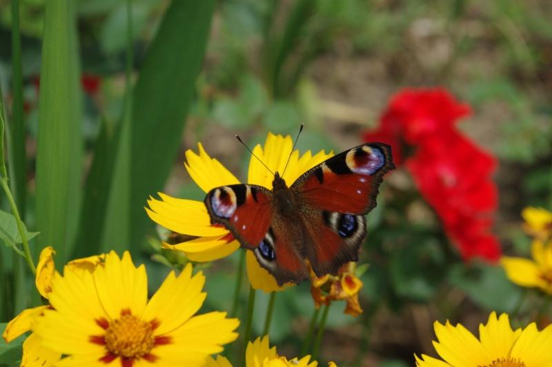 papillon Imgp1246