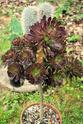 [ Aeonium arboreum var. atropurpureum ] identification 210