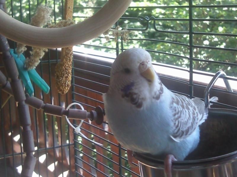 Mes deux perruches Photo410