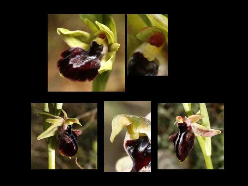 croissance du gynostème/ croissance de la fleur Questi15