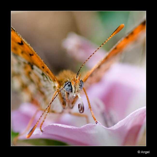 un papillon orangé Dsc_0210