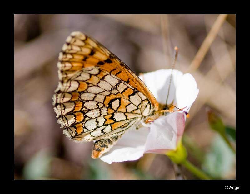 un papillon orangé Dsc_0211