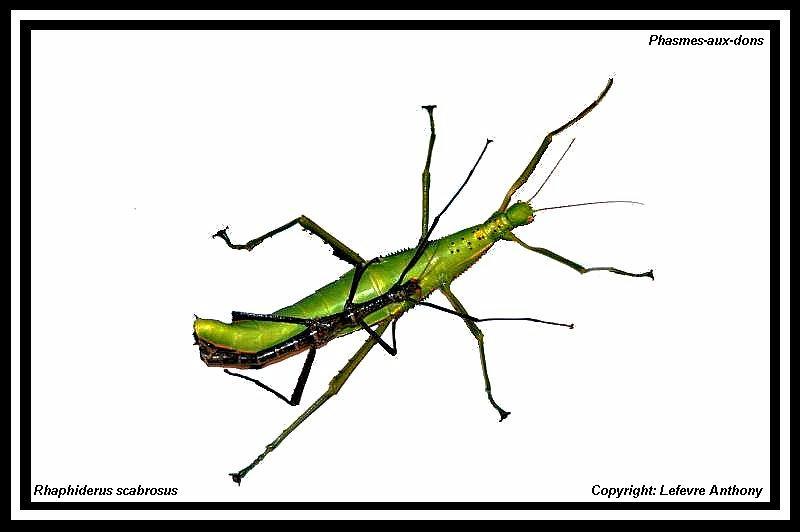 Rhaphiderus scabrosus (P.S.G n°83) Accoup12