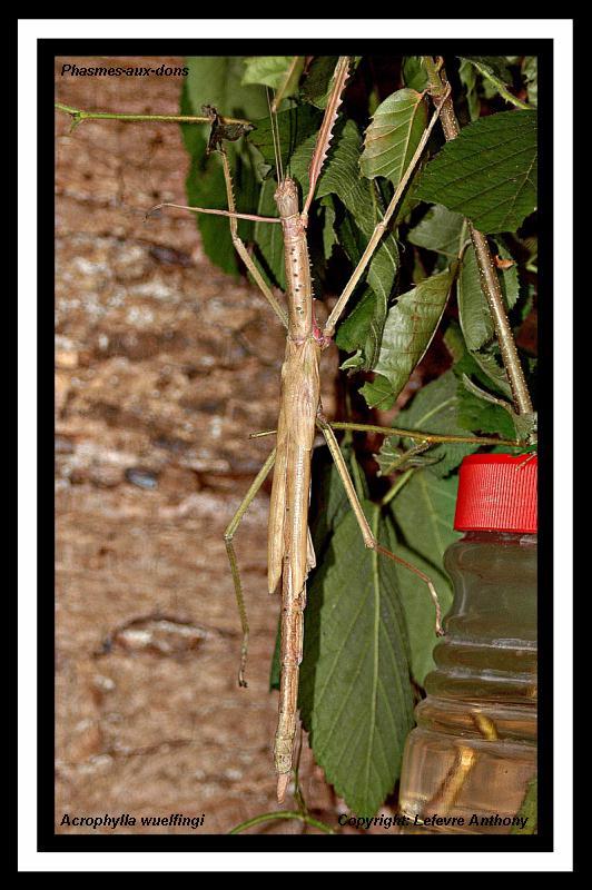 Acrophylla wuelfingi (P.S.G n°13) Acroph12