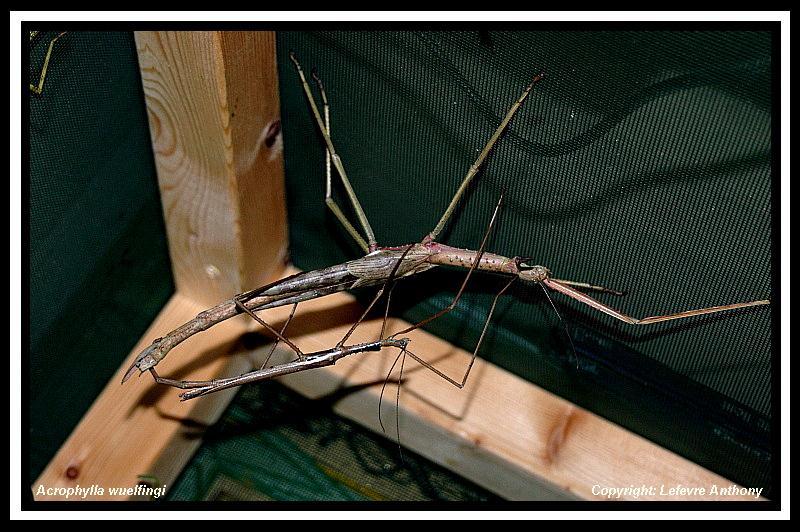 Acrophylla wuelfingi (P.S.G n°13) Acroph15