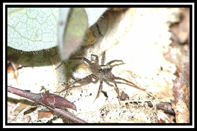 Araignée de sous-bois Araign10