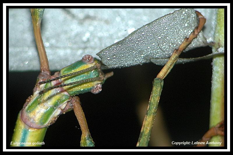 Eurycnema goliath (P.S.G n°14) Eurycn16