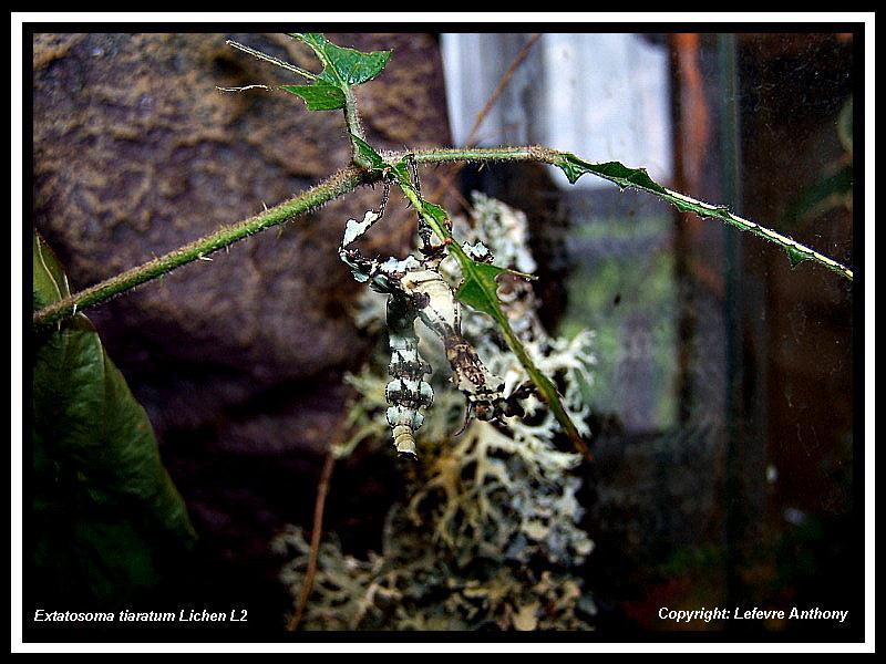 Extatosoma tiaratum lichen Extato19