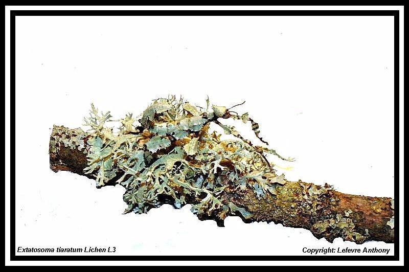 Extatosoma tiaratum lichen Extato21