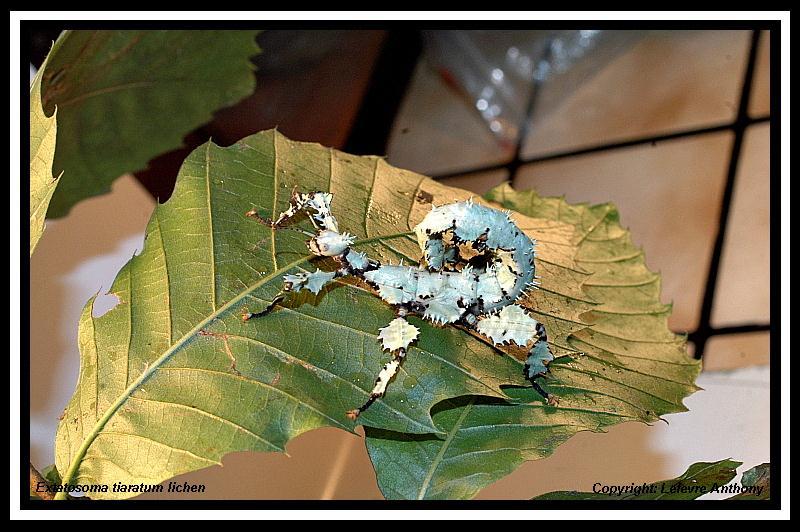 Extatosoma tiaratum lichen Extato25