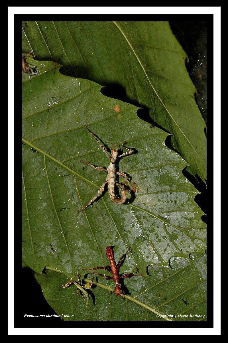 Extatosoma tiaratum lichen Extato26