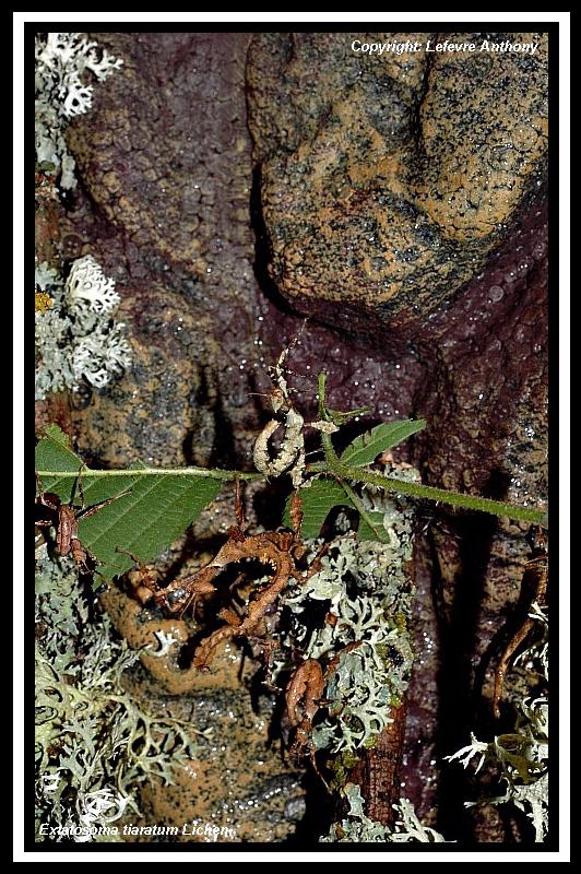 Extatosoma tiaratum lichen Extato27